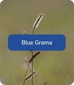 BlueGrama