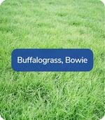 BuffalograssBowie