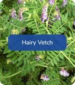HairyVetch