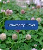 StrawberryClover
